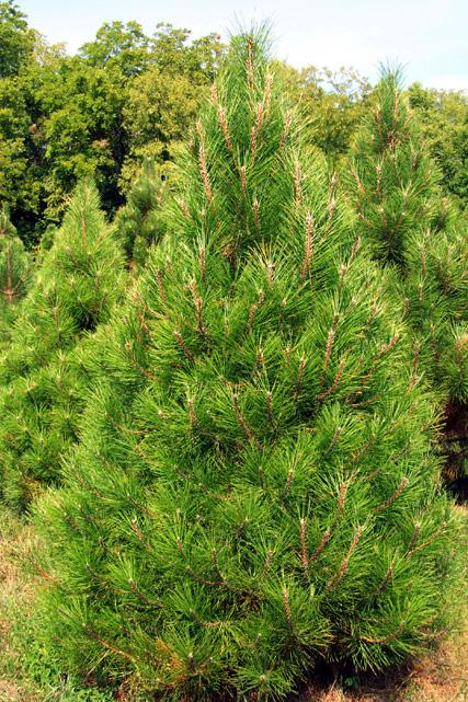 10 Feet Christmas Tree
